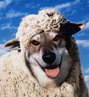 kuzu köpek koyun ben