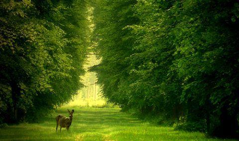 olağan geyik yeşil dpğa ağaçlar çim