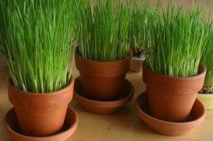 buğday çimi