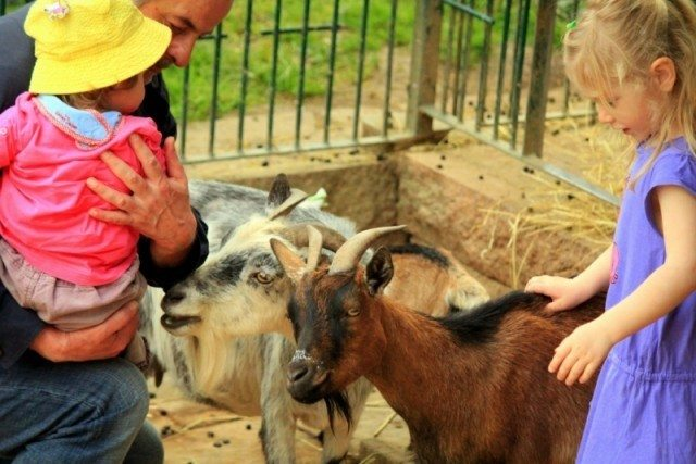 keçiler ve çocuklar-kaynaşma