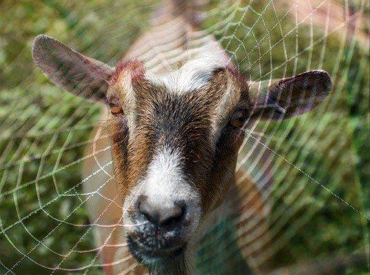 tanrı rolü keçi örümcek