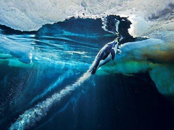 antarktika penguen buz