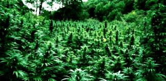 cannabis forest kenevir ormanı