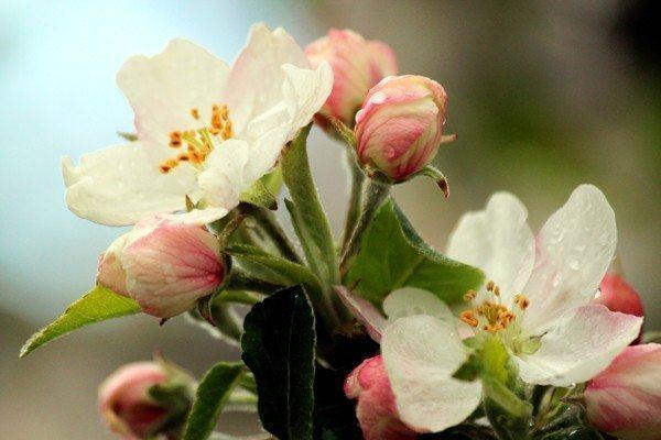 çiçek tomurcuk