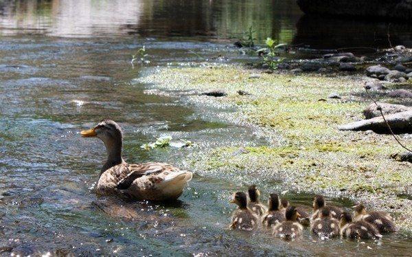 ördek yavruları