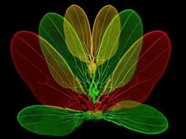 Meyve sineği kanadının ayrılmış hali