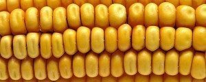 mısır gıda
