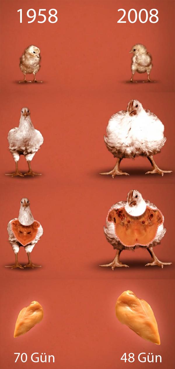 tavuk gelişim gıda