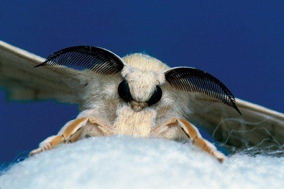 Kovaladıkça kaçan ipek böceği