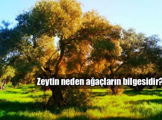 Ağaçların bilgesi: Zeytin