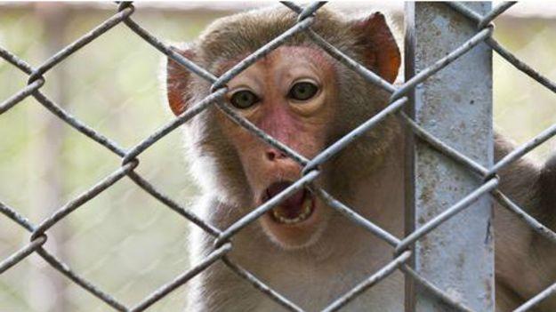 hayvanlar-stres-kardiyomiyopati-maymunlar-indigodergisi