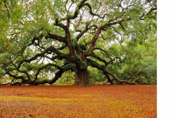 ağaç bin yıllık doğa