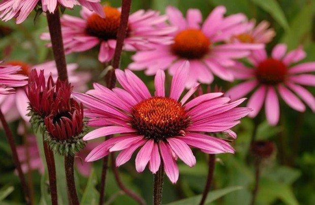 ekinezya çiçeği bitki çayları