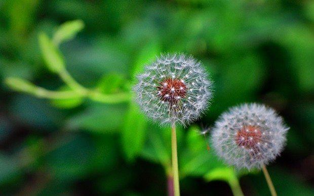 karahindiba çayı şifalı bitki çayları kış bağışıklık sistemini hastalık grip enfeksiyon