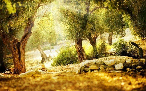 zeytin ağacı santorini 39 bin yıllık fosil zeytinyağ
