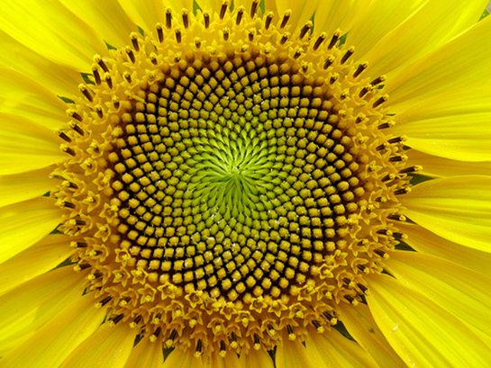 Fibonacci ve Altın Oran'ın doğadaki yeri ayçiçeği