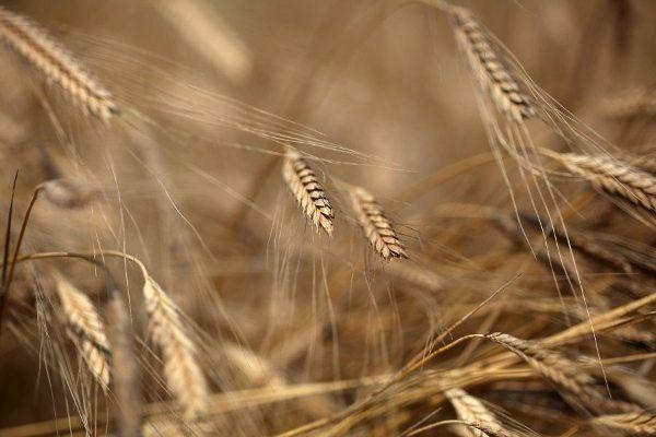 Siyez buğdayı nedir? Faydaları ve Siyez pilavı