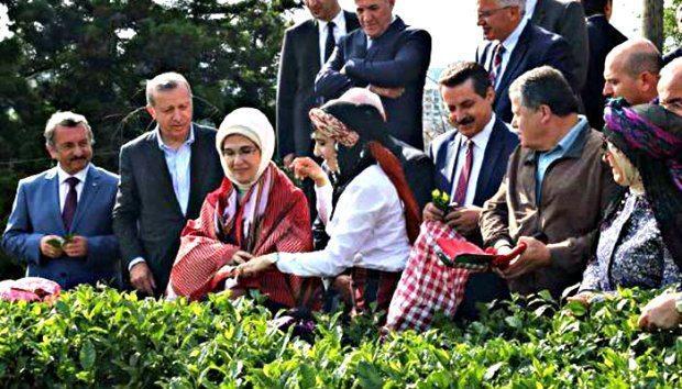 Rize'de yüksek yargılı çay hasadı tartışması