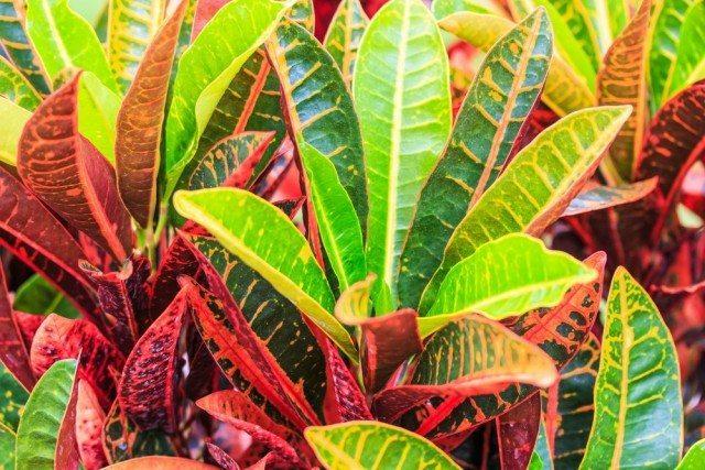 Cam kenarlarına Kroton gibi canlı yeşil bitkiler koyabilirsiniz. Bu bitkinin yaprakları başta sarı damarlı yeşildir fakat güneşin etkisi ile renklenip güzelleşir.