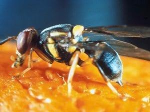 Meyve sinekleri de zeki çıktı