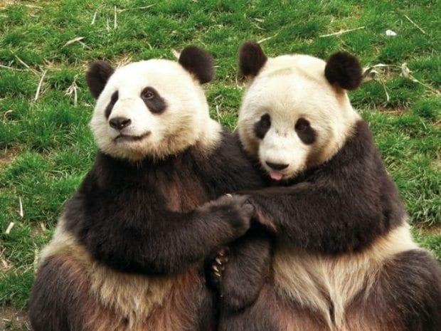 pandalar-ciftlesme-konusunda-isteksiz