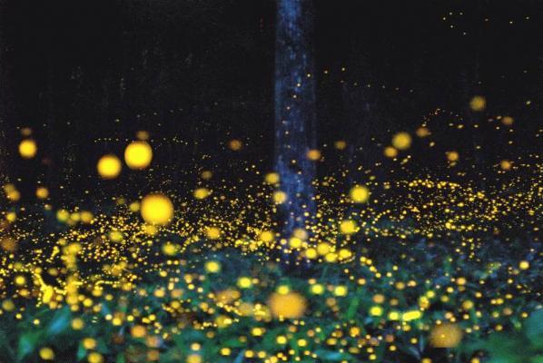 ateş böcekleri ışıklandırma bitkiler