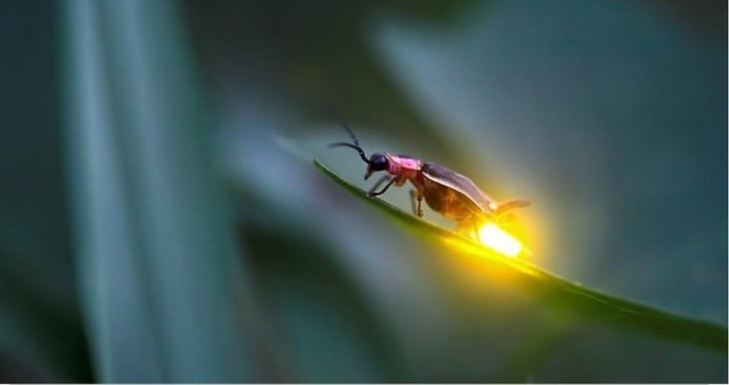 ateş böceği Bitkiler evleri sokakları aydınlatabilir mi? Organik ışık yayan bitkiler
