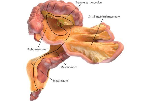 İnsan vücudunda yeni bir organ (Mezenter) keşfedildi