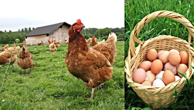 Fabrikalarda daha ucuza satılan kirli yumurtaları satın alıp samana karıştırıyorlar. Sonra da gezen tavuk yumurtası adıyla satış yapıyorlar.