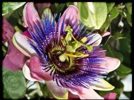 Passiflora nedir? Ne için kullanılır? Kullanım şekli nasıldır?