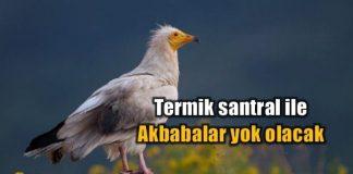 Türkiye ve Balkanların akbaba soyuna termik santral tehtidi