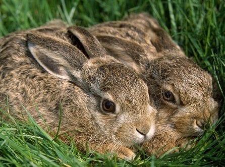 aslan ve tavşan