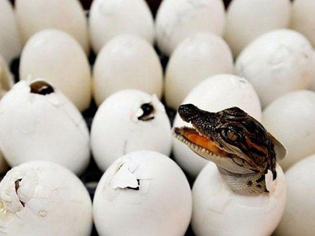 Dünyanın en eski timsah yumurtaları bulundu