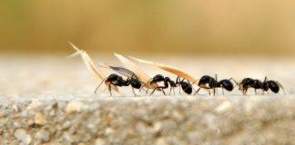 Karıncalar trafikte neden sıkışmazlar?