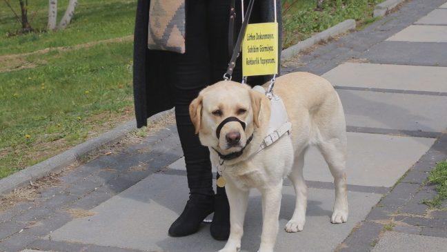 Rehber köpekler görme engellilerin hayatlarını değiştiriyor