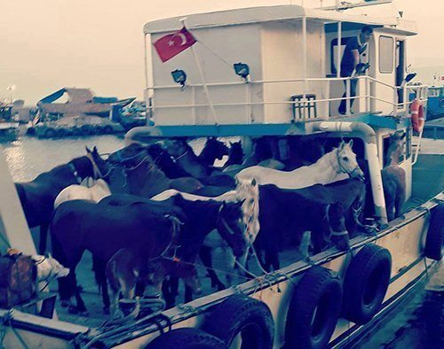 Adalar'a teknelerle taşınıyorlar atlar fayton