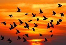 Göçmen kuşların tehlikeli yolculukları