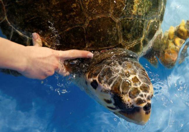 Kaplumbağa Dilek sağlığına kavuştu: Denize salınacağı günü bekliyor!