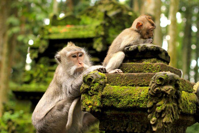 bali adası balayı endonezya maymun ormanları