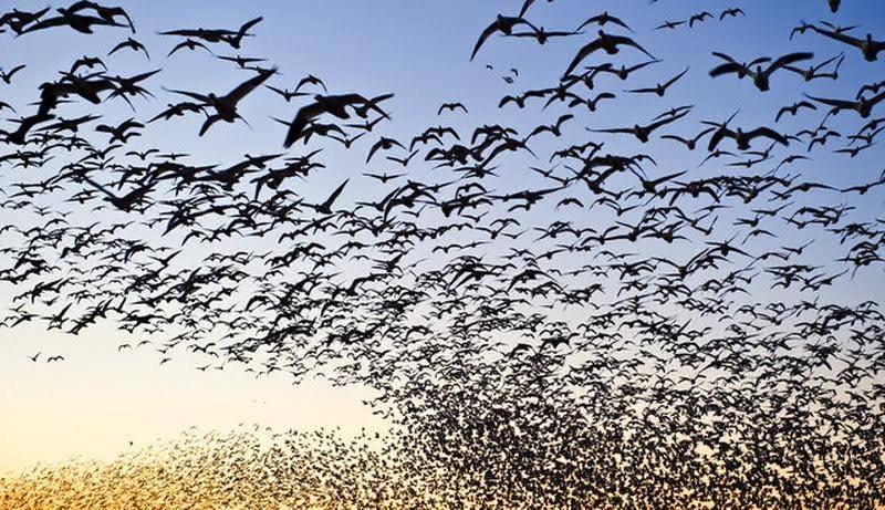 Depremden 1 saat önce tavuklar çığrışır; kuşlar deprem bölgesinden kaçar