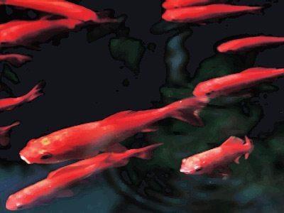 depremden 1 hafta öncesinden kırmızı balıklar çoğalır