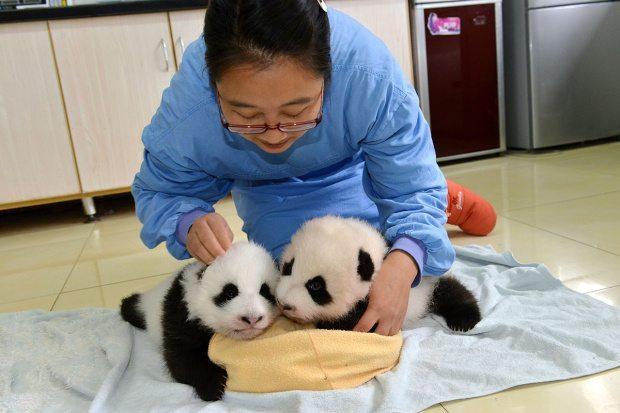 panda bakıcısı bakıcılık hayvanlar