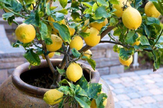 limon ağacı saksı limon