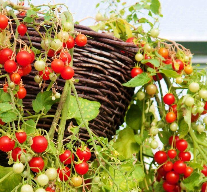 saksıda cherry domates yetiştirmek