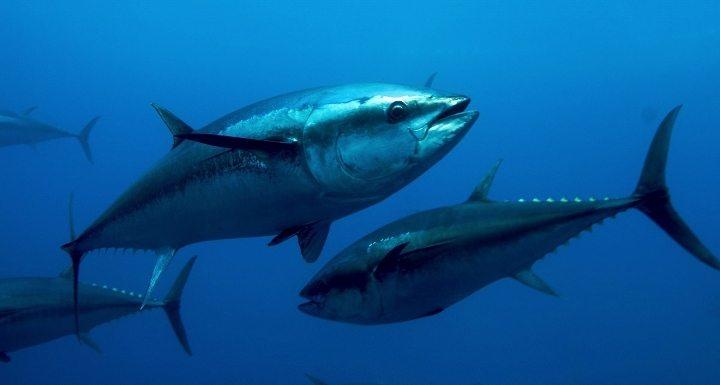 ton balığı faydaları