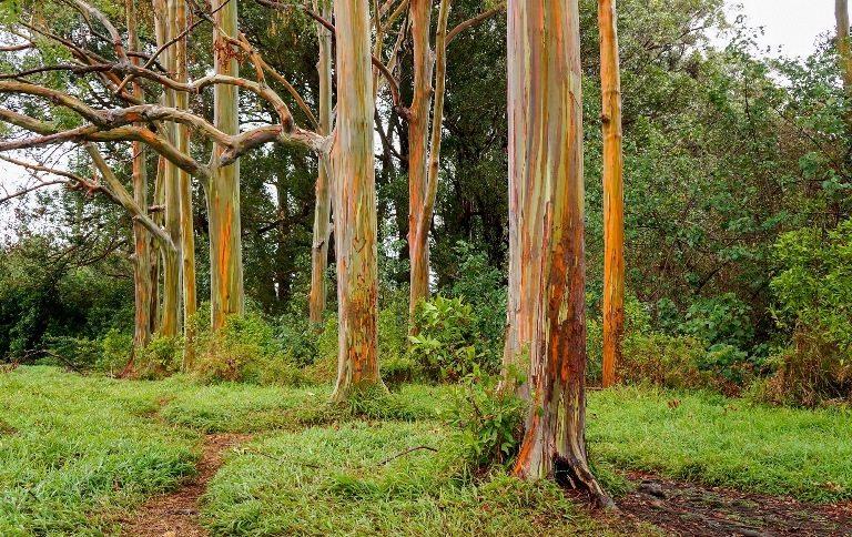 Gökkuşağı Okaliptüs Ağacı, Kuzey Yarım Küre