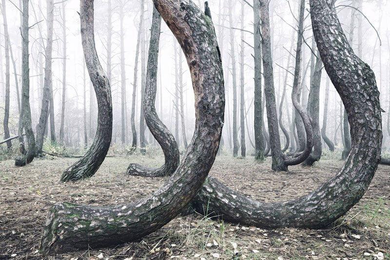 polonya eğri orman gryfino crooked forest