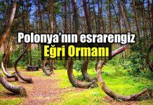 Polonya gizemli eğri orman Gryfino
