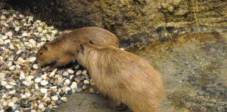 Kapibaralar: Dünyanın en büyük faresini gördünüz mü?