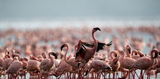 Tanzanya'da on yıllık mücadeleyi flamingolar kazandı!